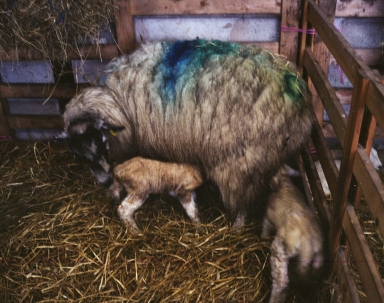Newborn lambs and ewe, Bay Horse, 2016